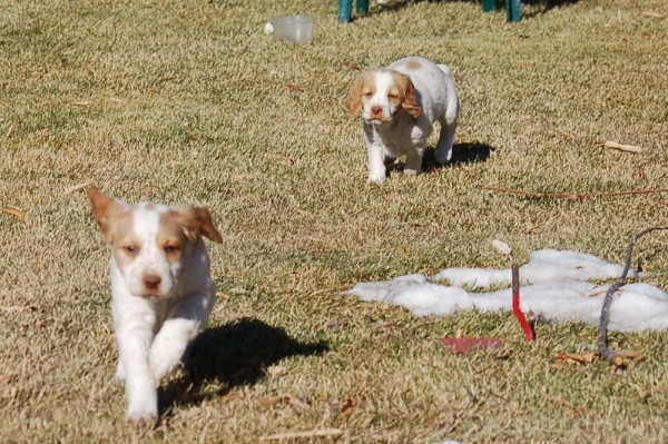 6 Week Old Brittany Puppies Running
