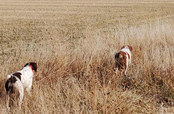 Annie Buster Pointing Pheasants