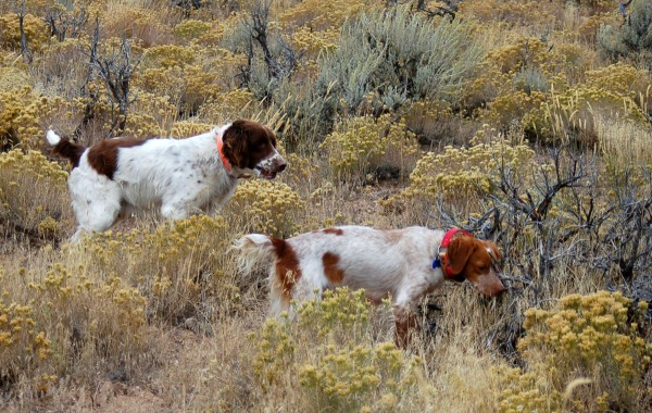 Buster Sadie Pointing Quail