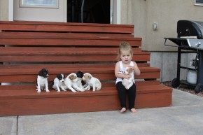 Brittany puppies for sale