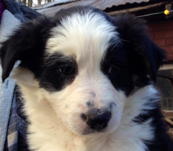Meg - 8 week old AKC ABCA Border Collie