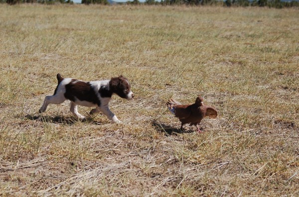 Liver Brittany Puppy and Young Pigeon