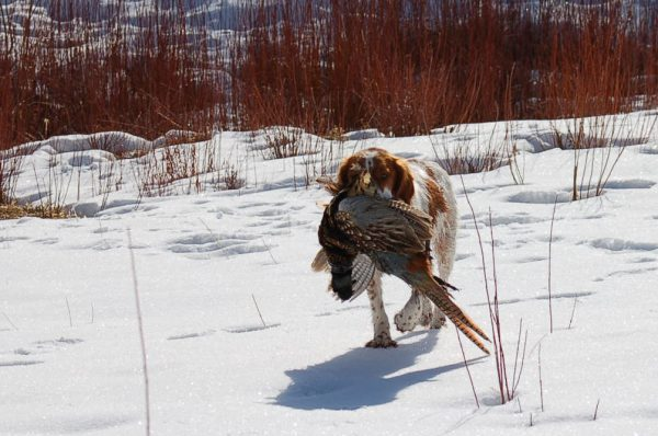 Feb Pheasant Hunt with Annie